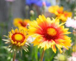 ガイアルディアの花:天真爛漫のアイキャッチ画像